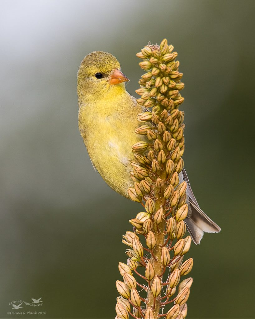 Female Goldfinch 2