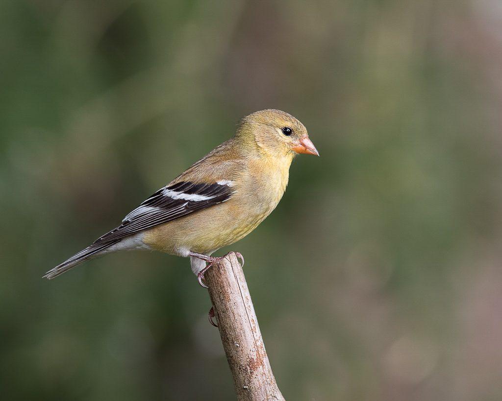 Female Goldfinch 3