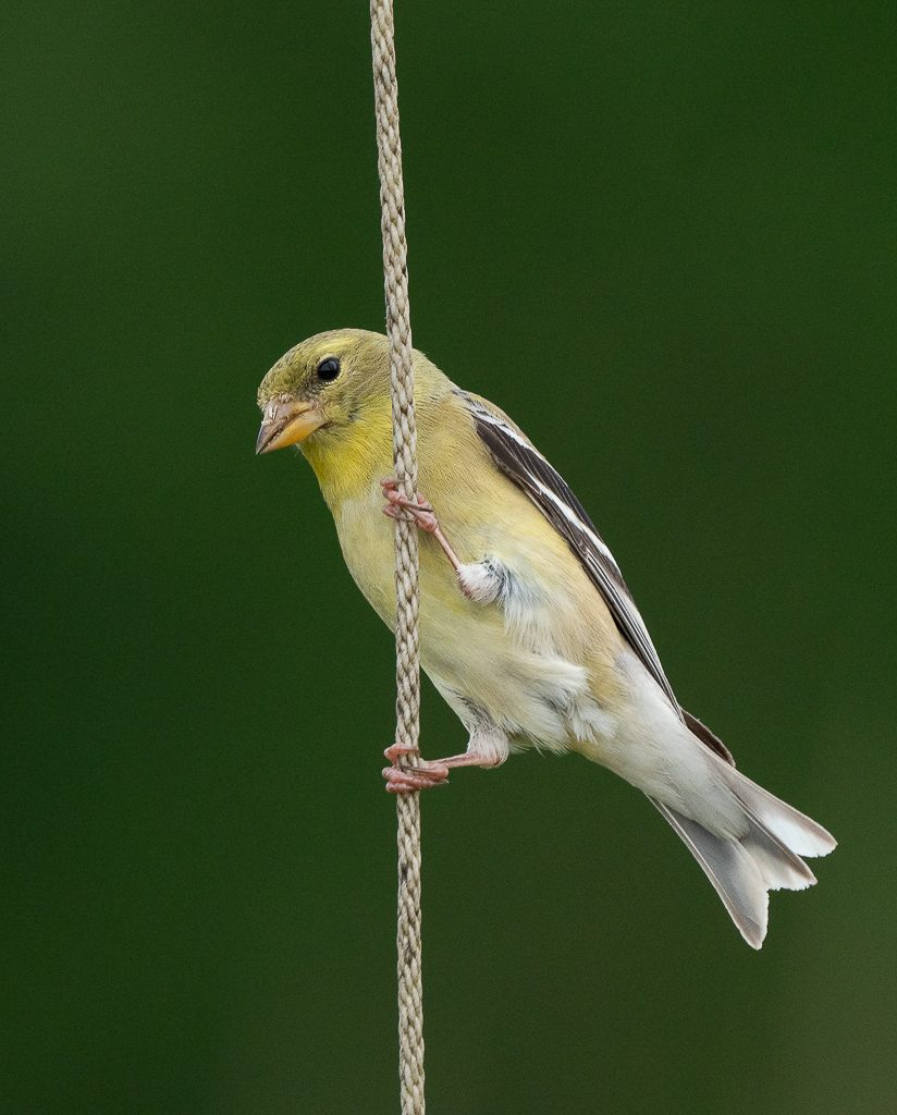 Female Goldfinch 5-another grayish female from this year