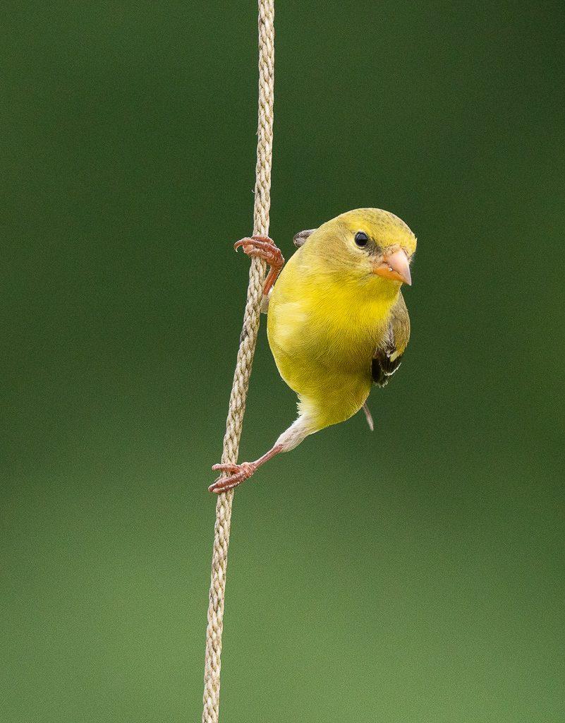 Female Goldfinch 6