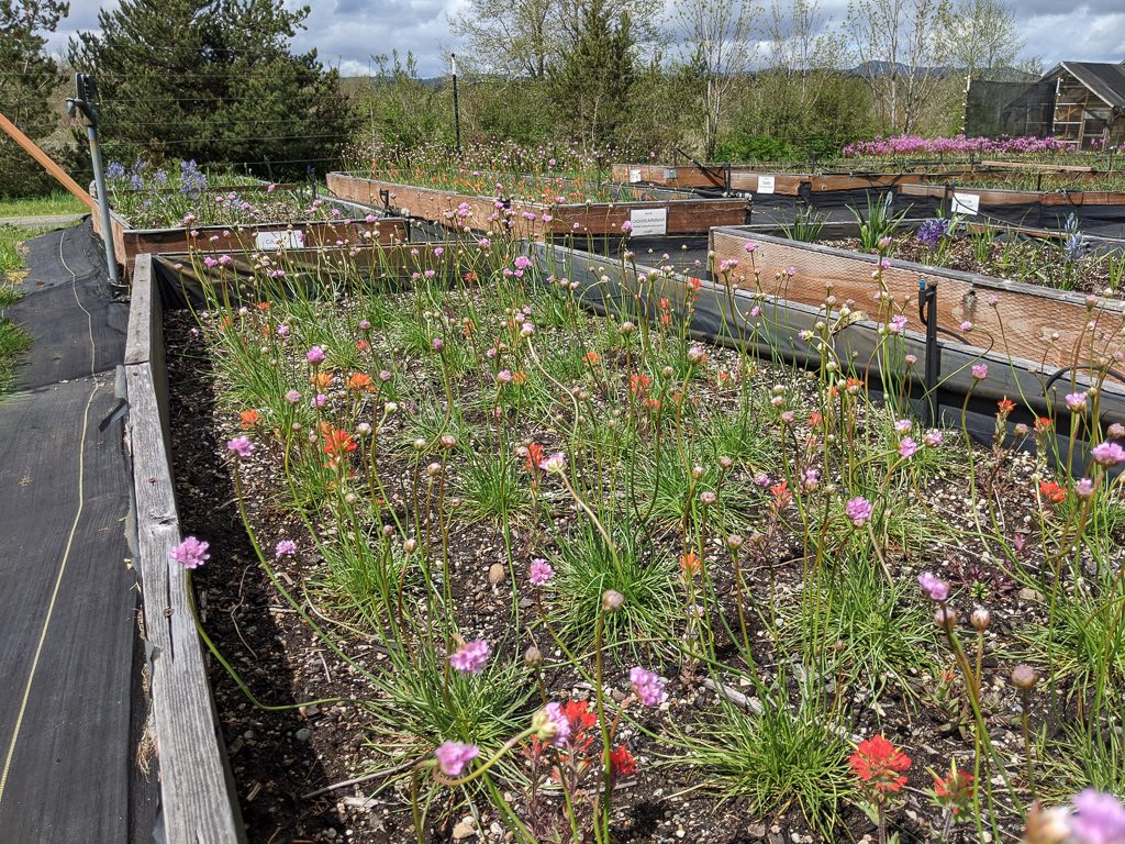 The Four Flowers bed, see above for species, photo by Forrest Edelman.