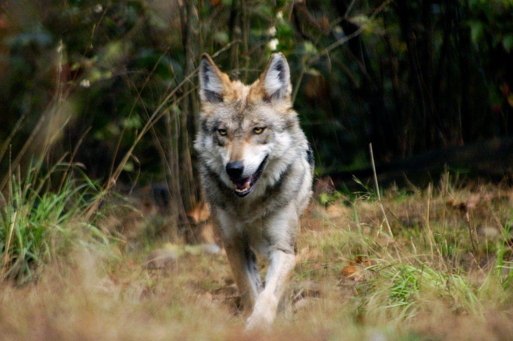 Gypsy, A Mexican Wolf