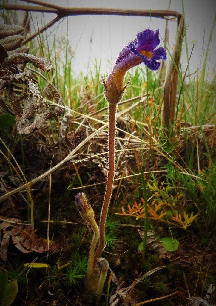 The Vampire Orobanche uniflora below the ruins of a bracken fern. Photo by Ivy Clark