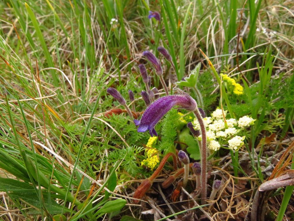 Colony of naked broomrape among a Lomatium utriculatum. Photo by Ivy Clark