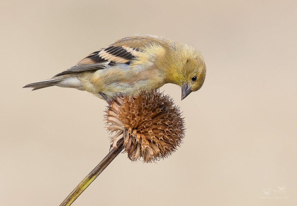 Juvenile Goldfinch 1