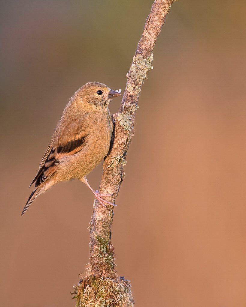 Juvenile Goldfinch 2