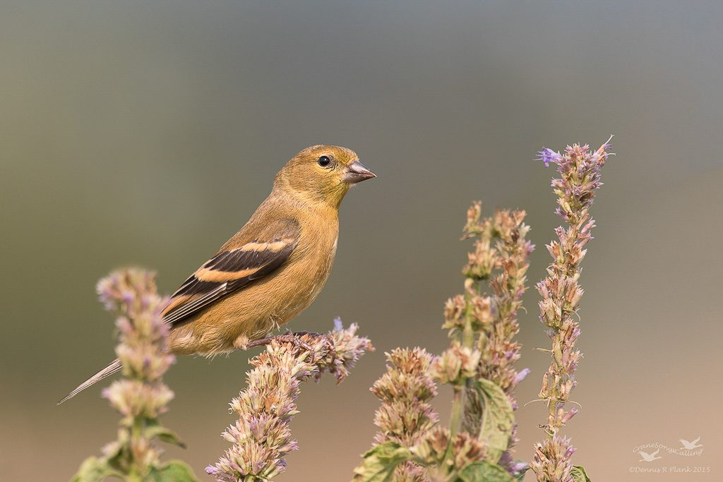 Juvenile Goldfinch 3