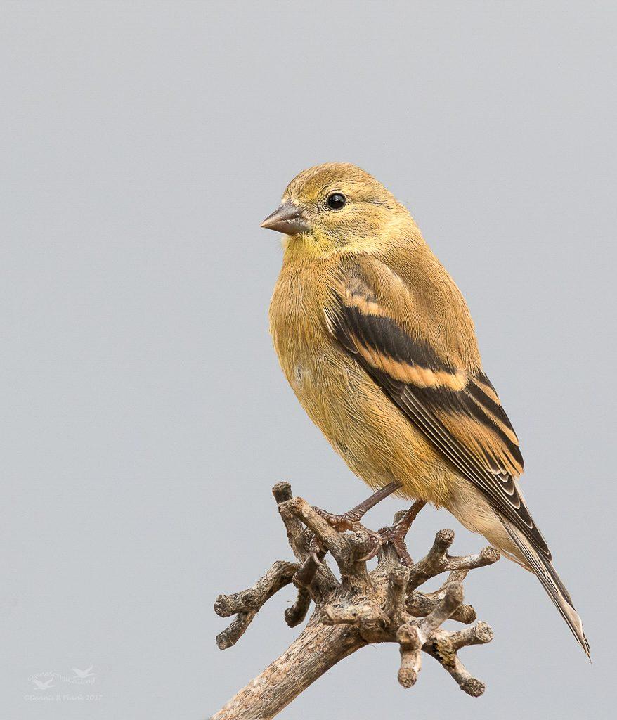 Juvenile Goldfinch 4