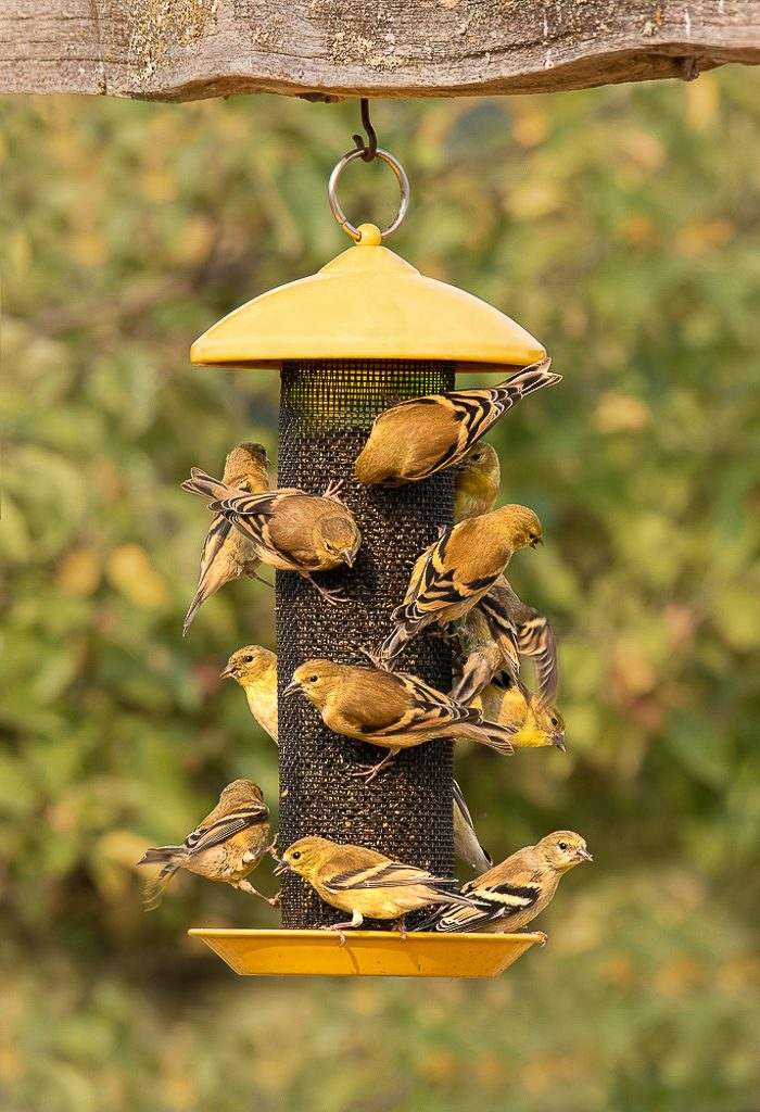 Late Summer mostly Juvenile Goldfinches