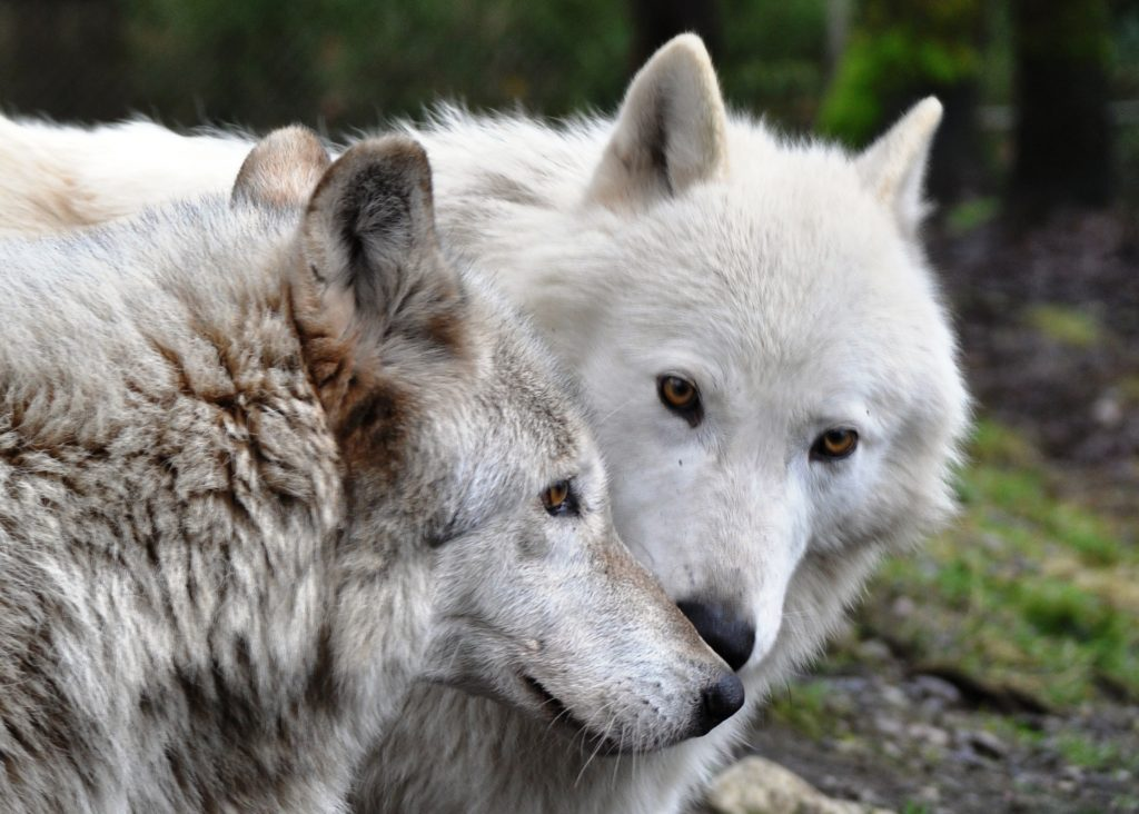 London and Kiawatha-Rescued Gray Wolves