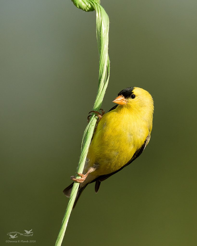 Male Goldfinch 1
