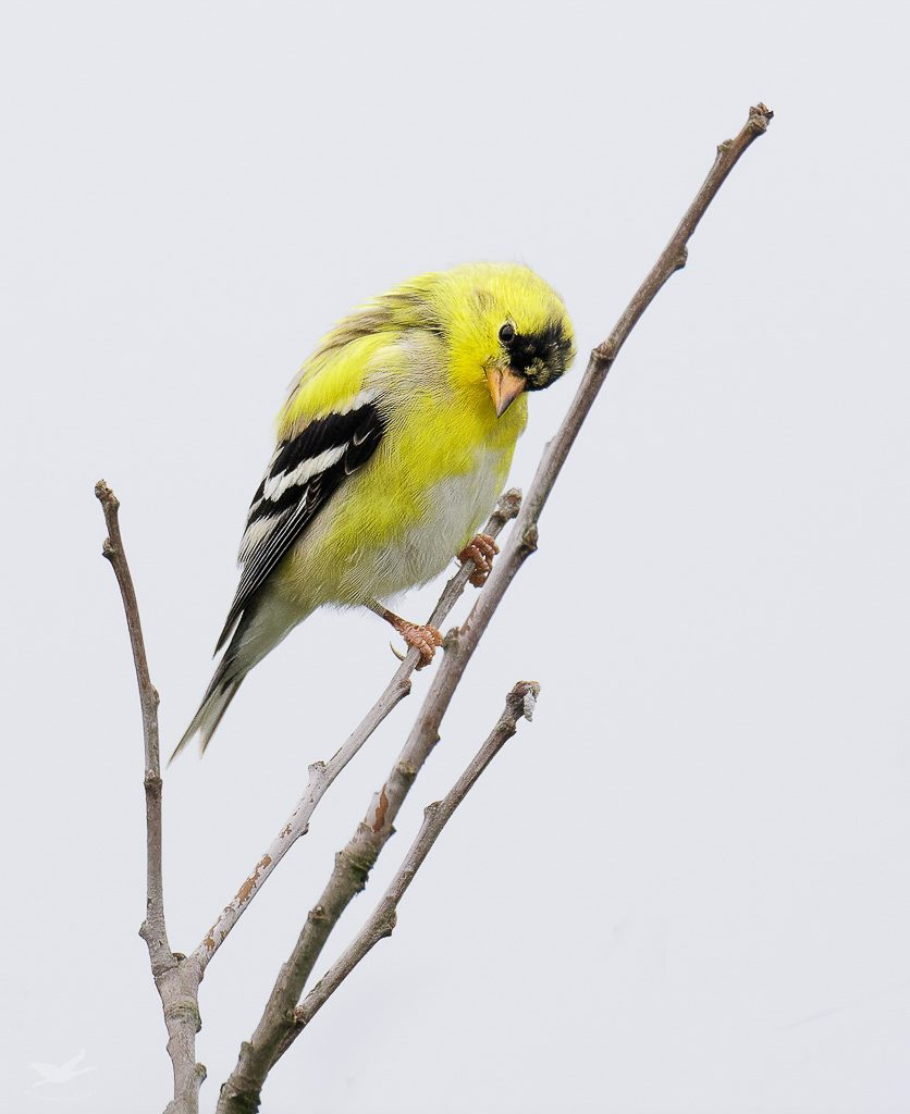 Male Goldfinch 3
