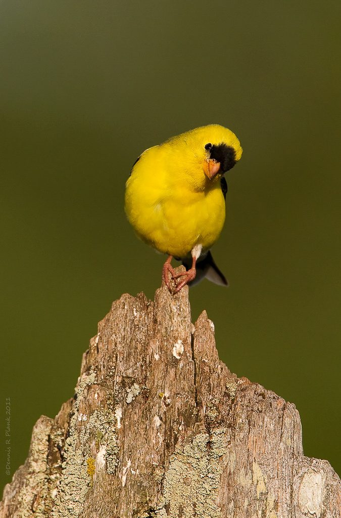 Male Goldfinch 4