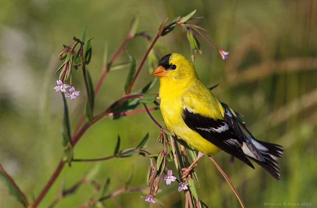 Male Goldfinch 5