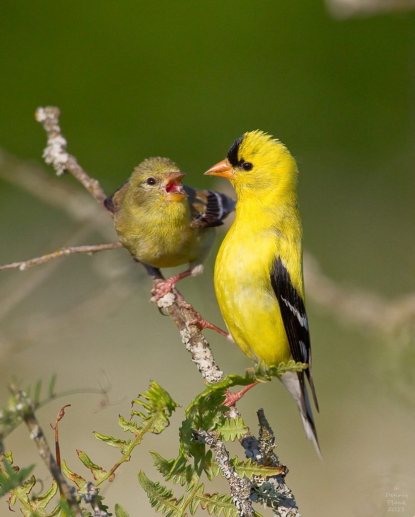 Male and Female Goldfinches-courting behavior
