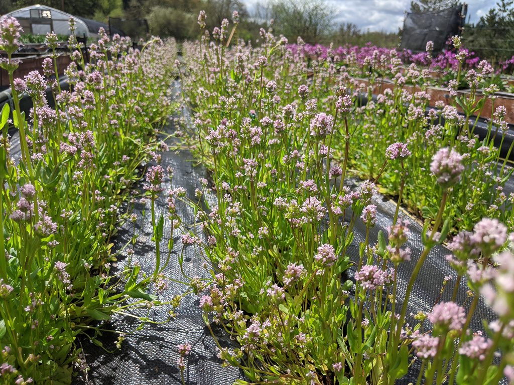Plectritis congesta ssp congesta, Sea blush from the Lower Olympics region, photo by Forrest Edelman.