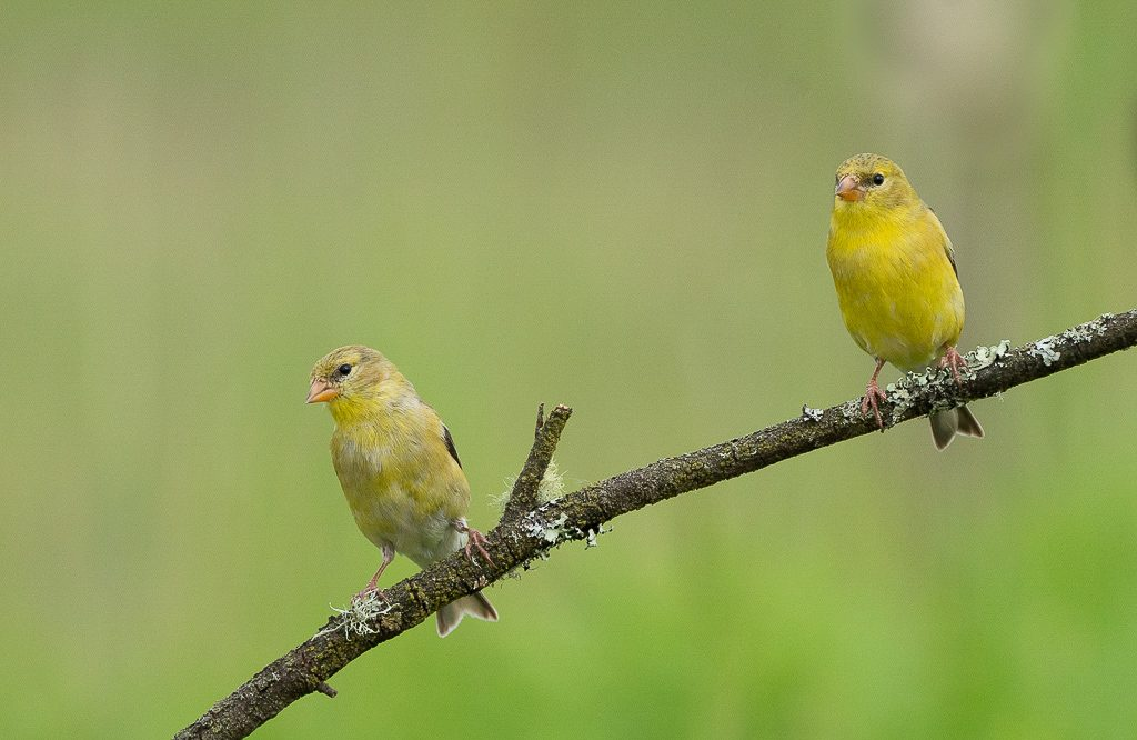Two Female Goldfinches