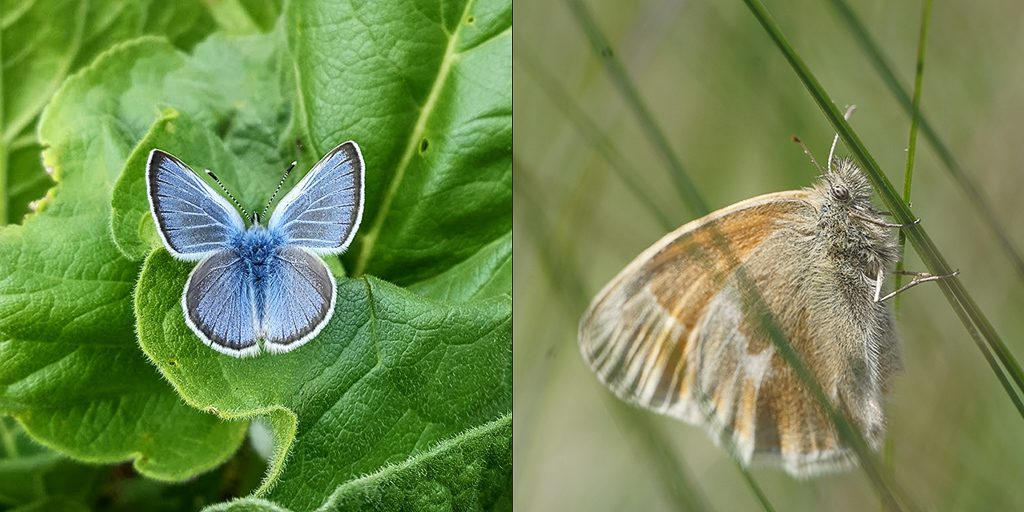 My two study species. Left: Silvery blue (Glaucopsyche lygdamus) male. Photo by Samantha Bussan. Right: Ochre Ringlet (Coenonympha tullia eunomia). Photo by Christopher Jason.