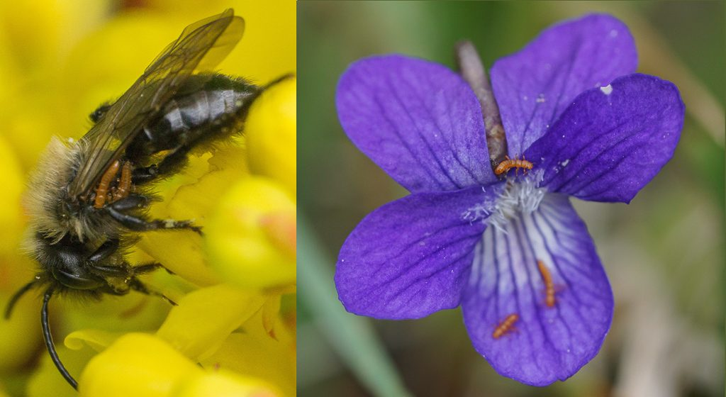 Mining bee and hookedspur violet with triungulin. Photos by Christopher Jason