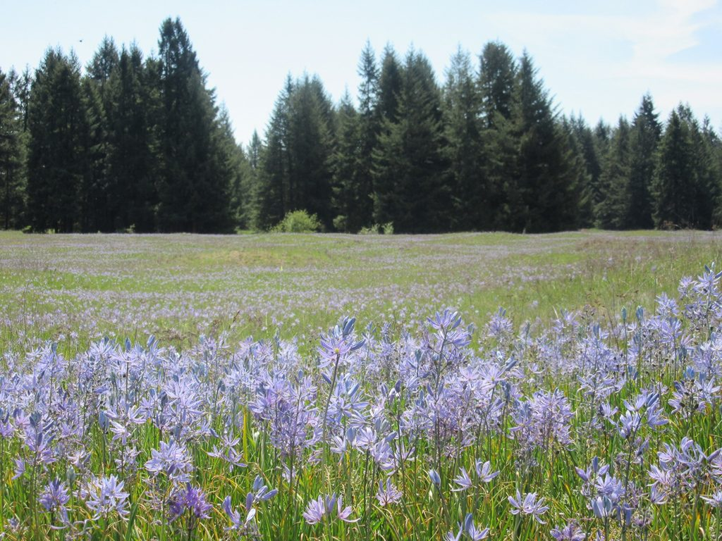 A Camas Prairie in full bloom.