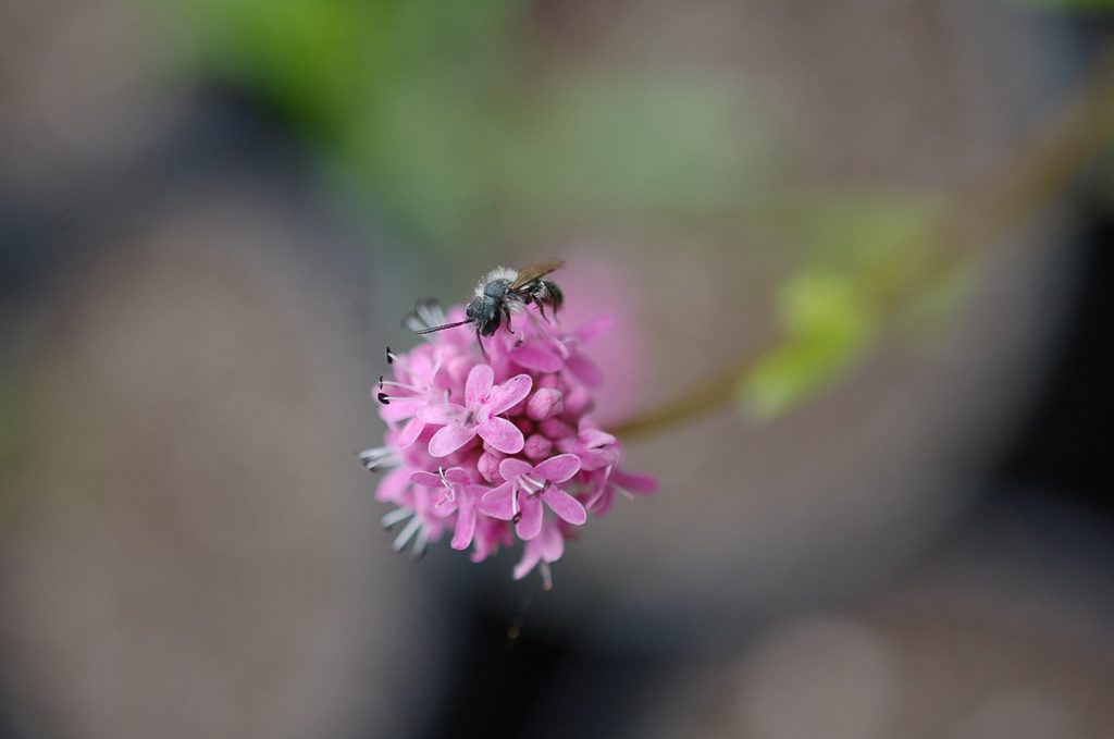 Plectritis congesta, Rosy Plectritis or Sea Blush with pollinator.  Photo by Andy Hopwood.