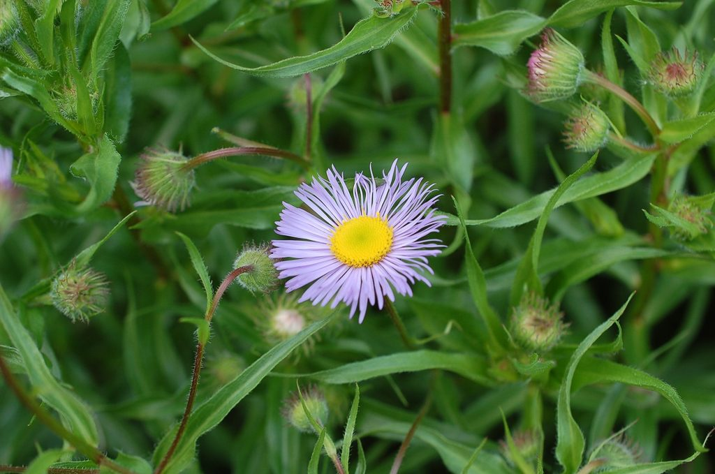 Erigeron speciosus, Showy Fleabane.  Photo by Andy Hopwood
