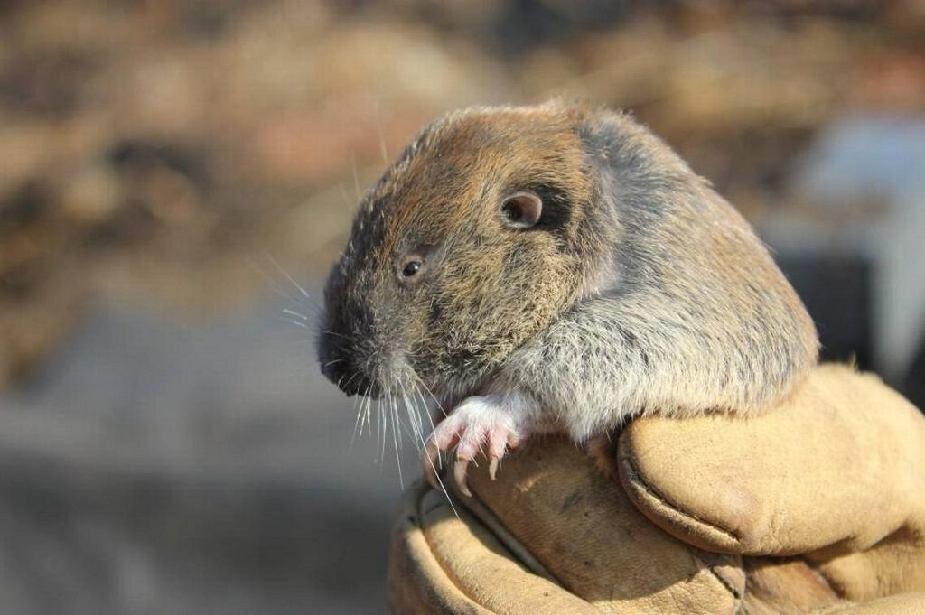 Mazama pocket gopher; Photo Credit: USFWS