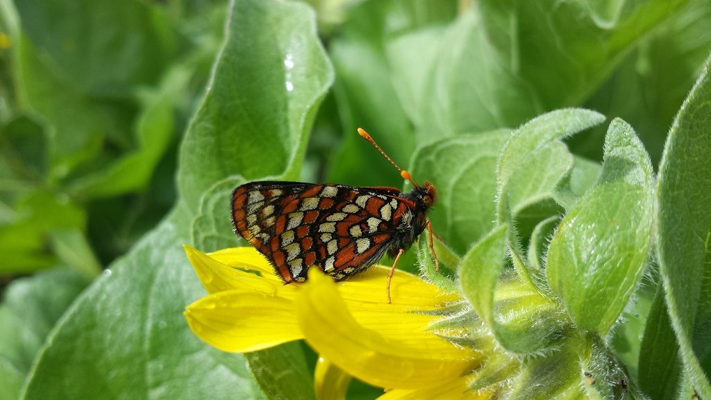 Taylor's checkerspot butterfly; Photo Credit: Zach Radmer/USFWS