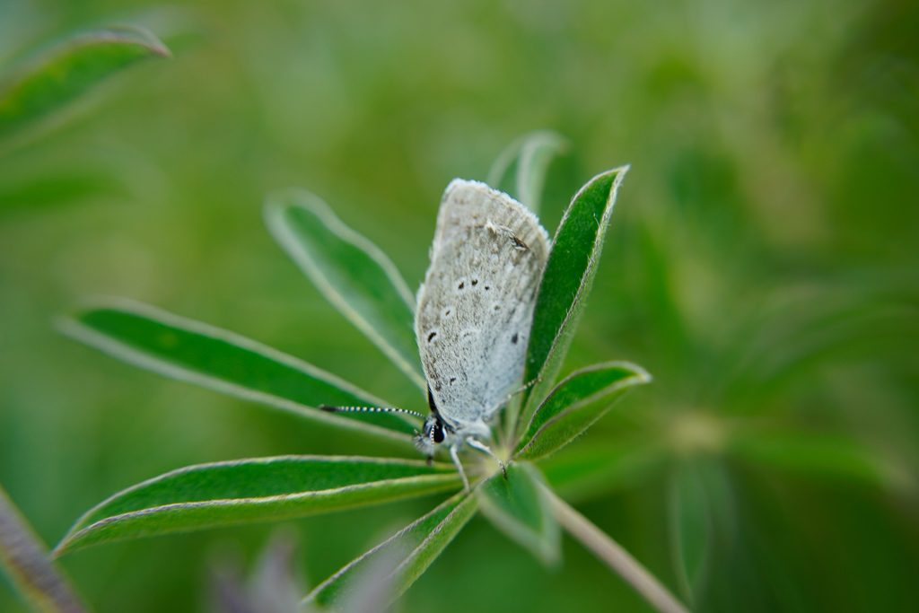 Puget Blue butterfly, photo by Kelsey King