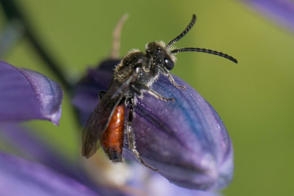 Blood Bee on Camas, Photo by Christopher Jason