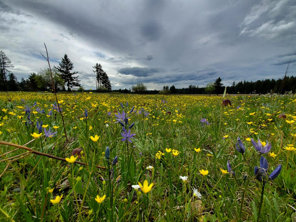 Prairie in early spring, with many camas blooms following a fall burn, photo by Samantha Bussan