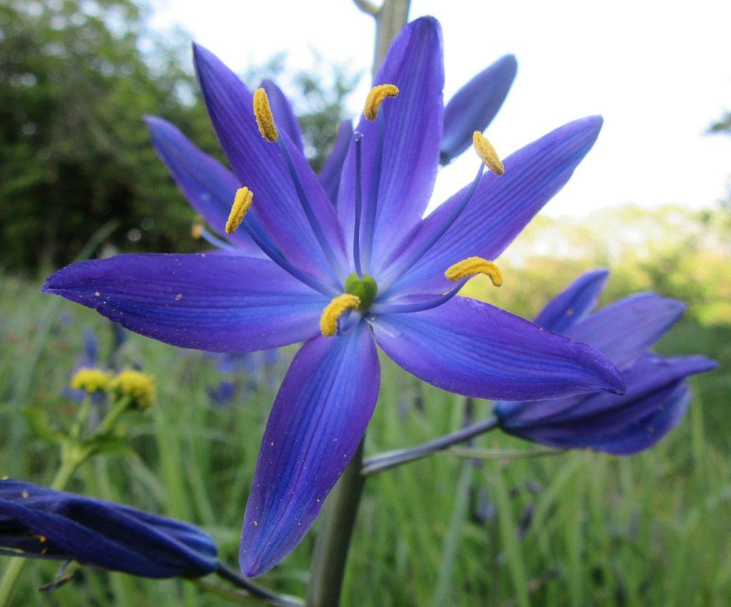Camas flower.