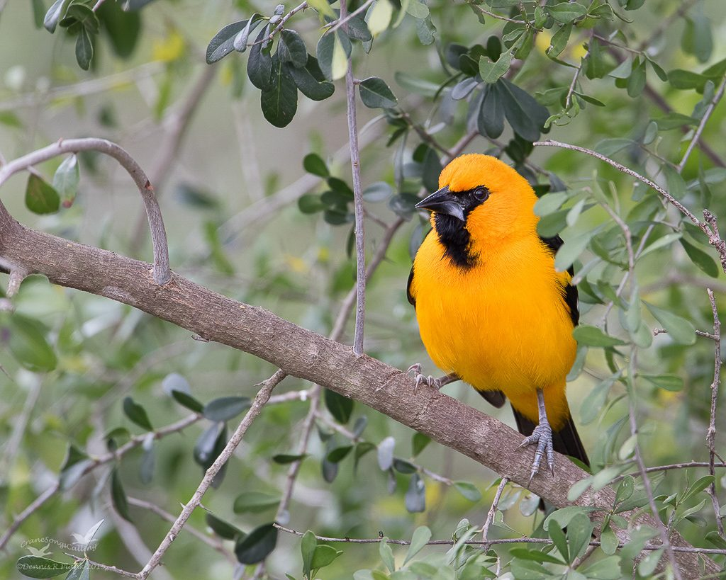 Altamira Oriole from the Rio Grande border of Texas, photo by Dennis Plank