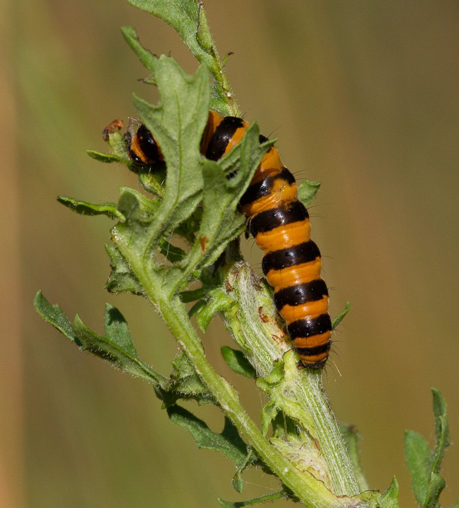 Cinnabar Moth Larva (aka Tansy tiger) hard at work, photo by Dennis Plank.