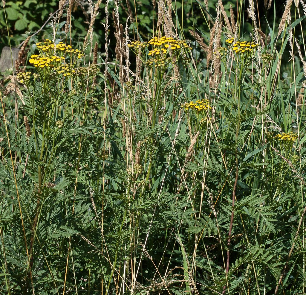 Common Tansy on a roadside in south Thurston County, Washington, photo by Dennis Plank.