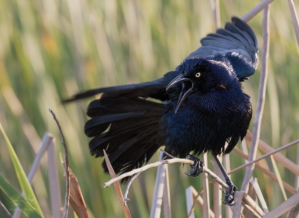 Great-tailed Grackle from the Texas Coast, Photo by Dennis Plank