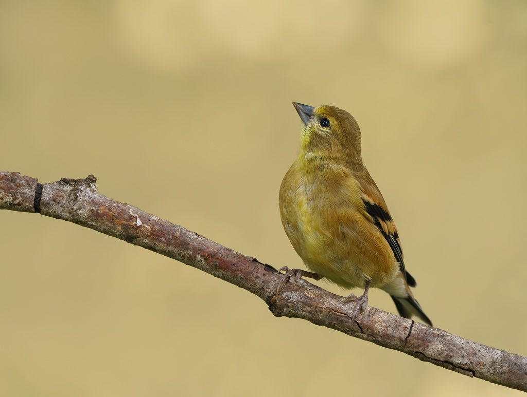 Juvenile American Goldfinch, photo by Dennis Plank