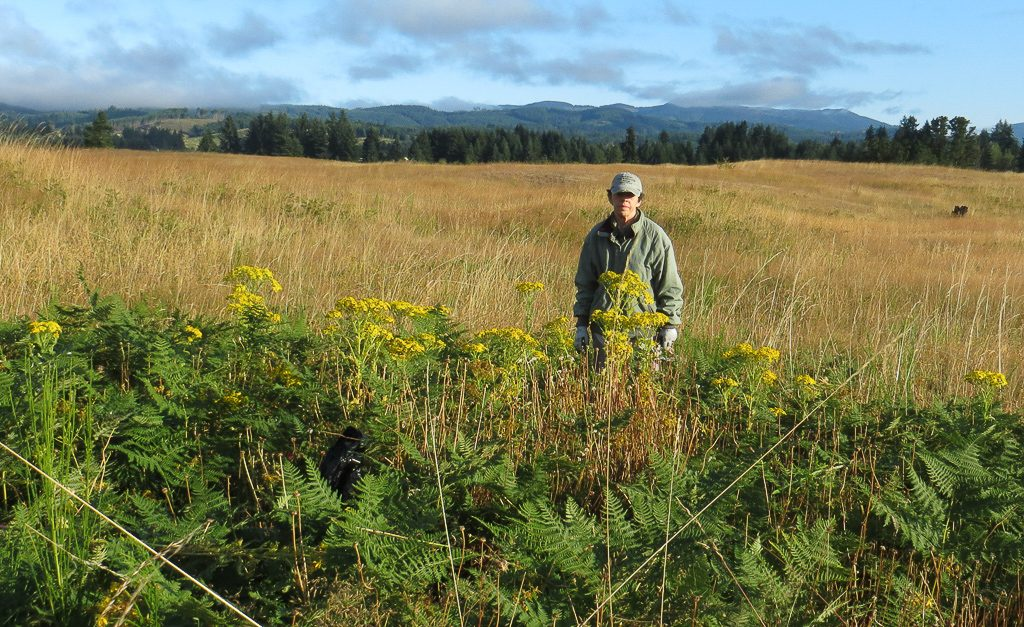 My wife, Michelle, eyeing a patch of Tansy earlier this year. Photo by Dennis Plank