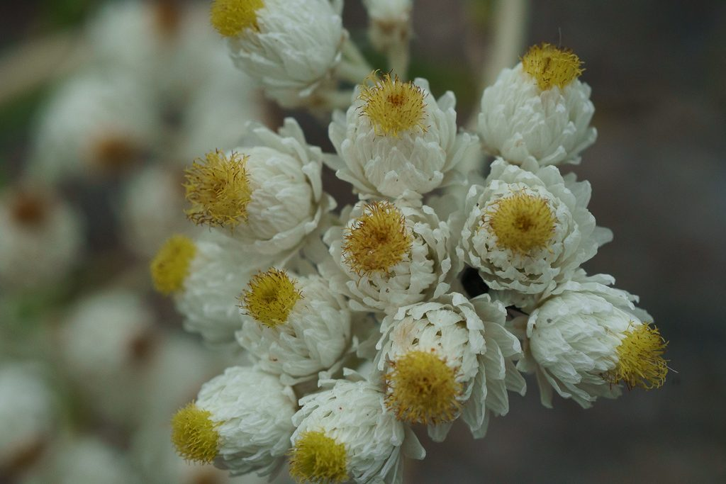 A close-up look at the Pearly Everlasting blossoms, photo by Dennis Plank