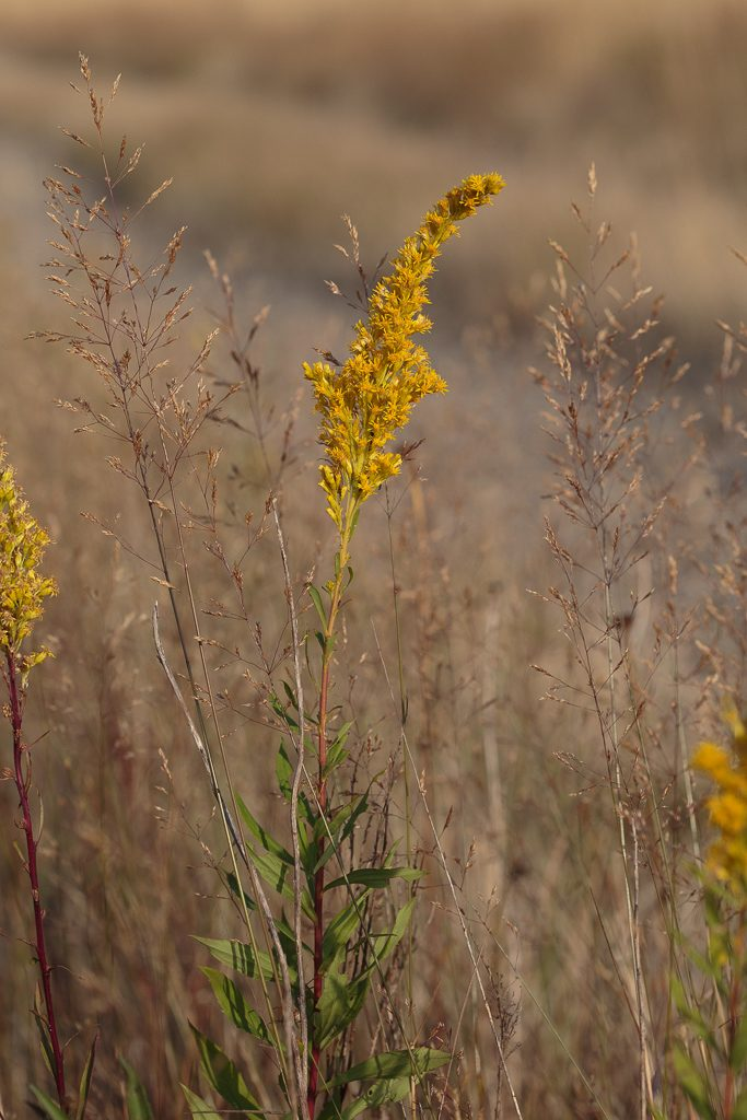 Canada Goldenrod on Glacial Heritage Preserve, photo by Dennis Plank