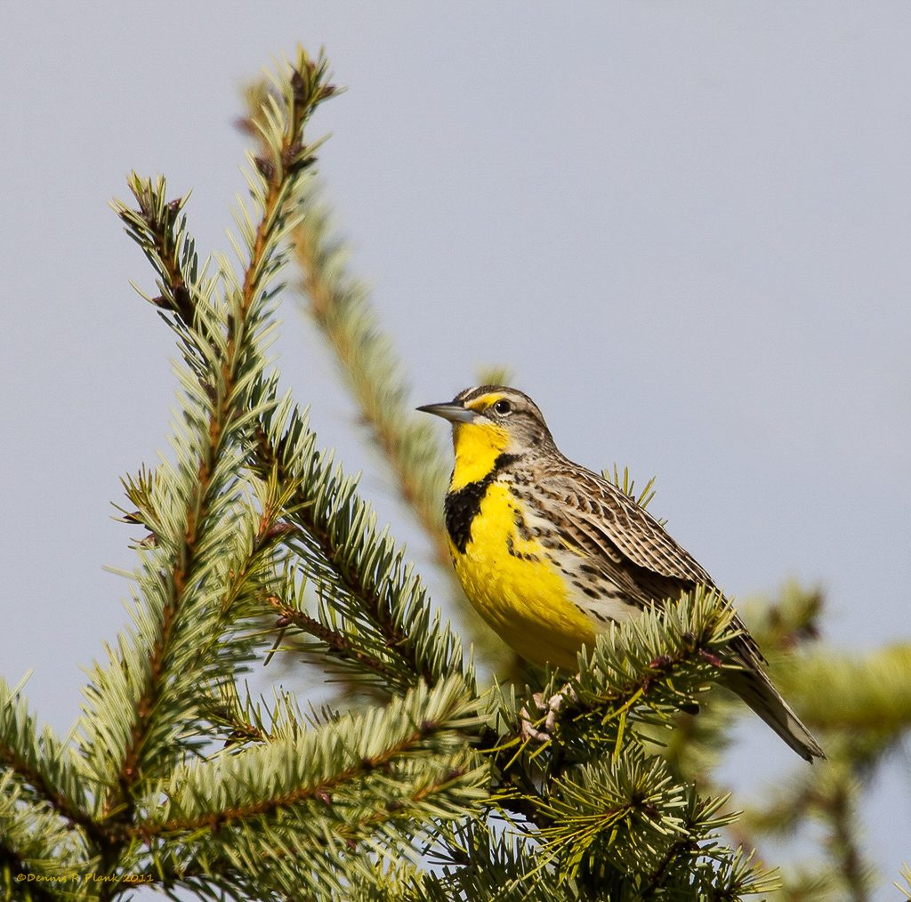 Western Meadowlark at Glacial Heritage Preserve, photo by Dennis Plank