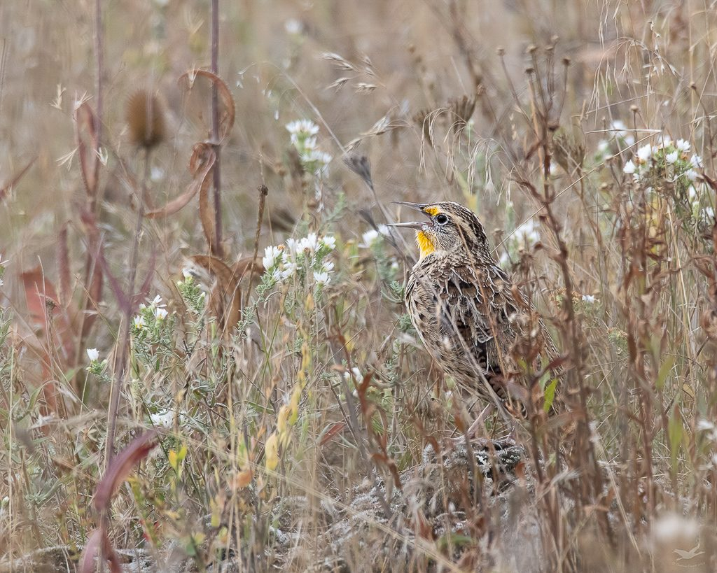 Western Meadowlark singing from the ground. Photo taken at the National Bison Range in Montana by Dennis Plank