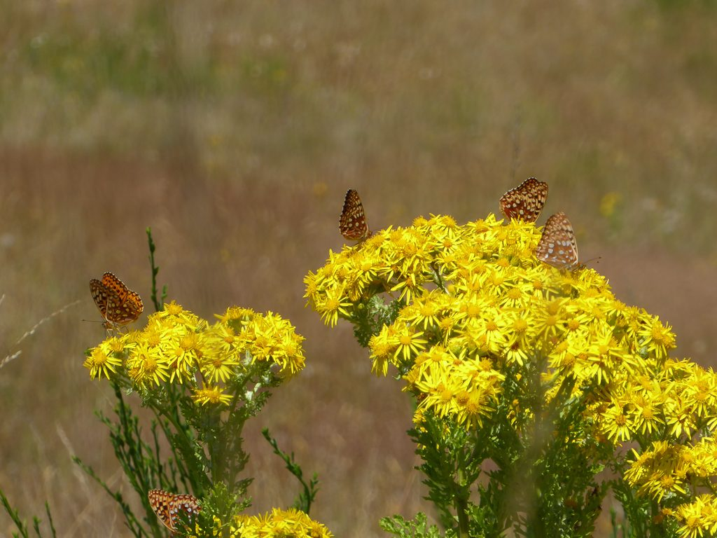 Zerene fritillaries nectaring on Tansy Ragwort at Mima Mounds Natural Area, Photo by Brad Gill.