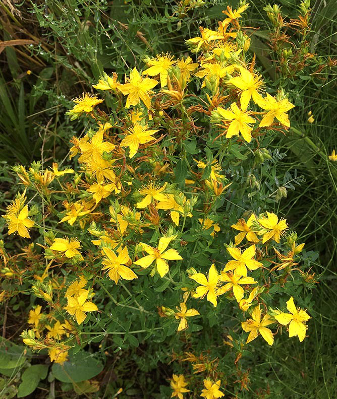 St. John's Wort, photo courtesy of Washington State Noxious Weed Control Board