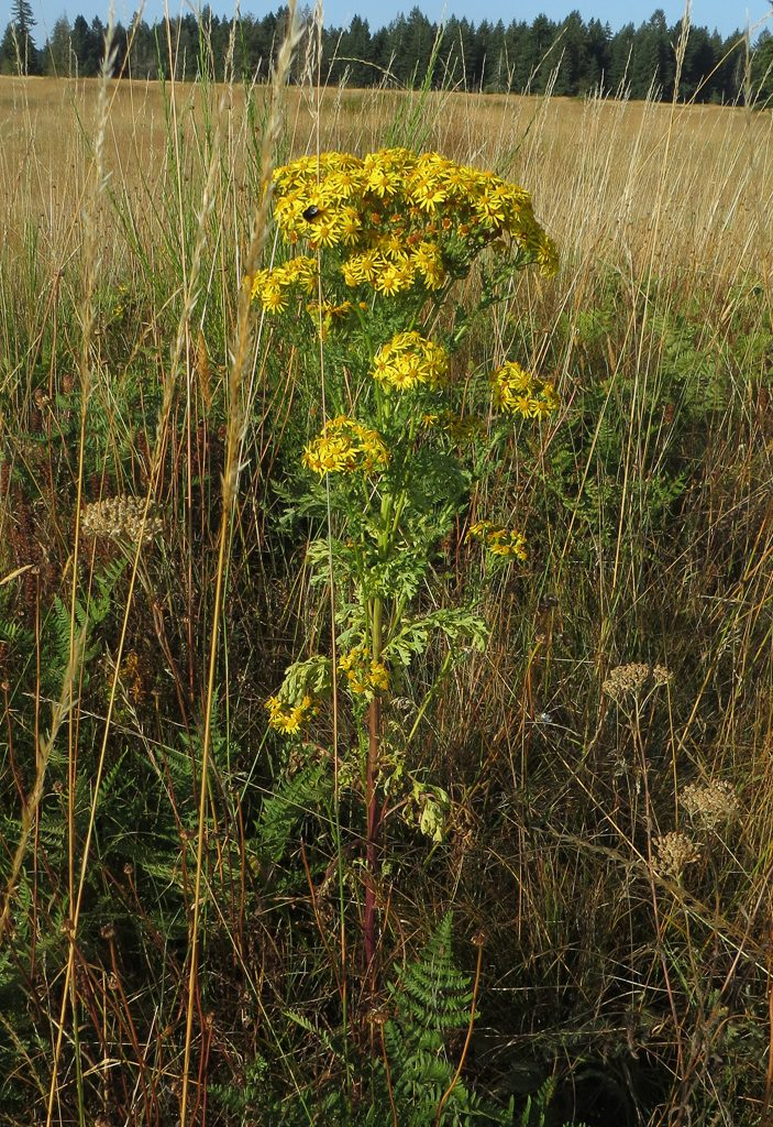 Tansy Ragwort, photo by Dennis Plank