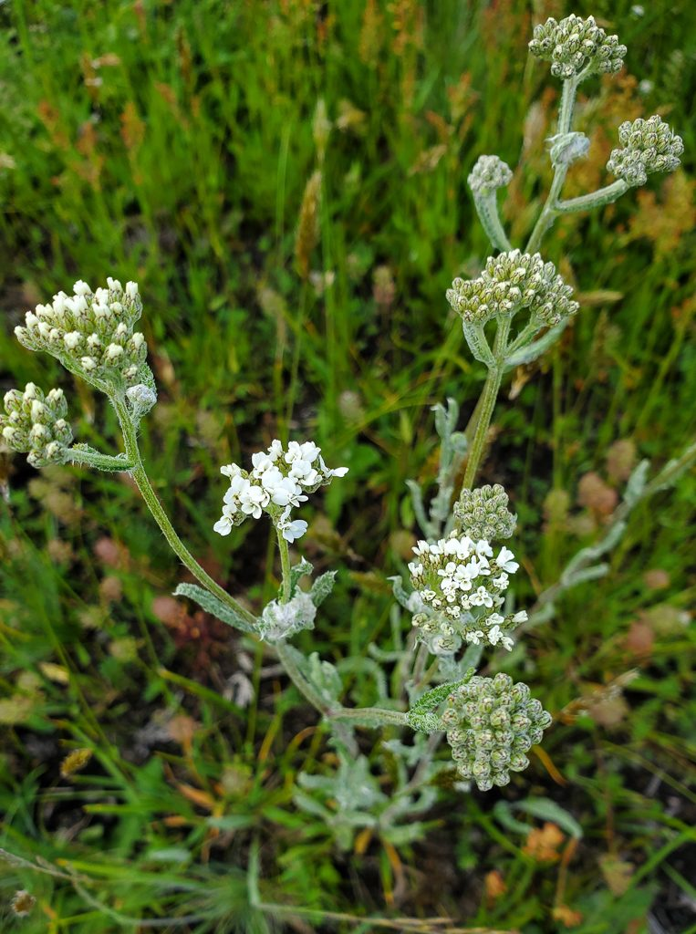 Yarrow starting to bloom, photo by Ivy Clark.