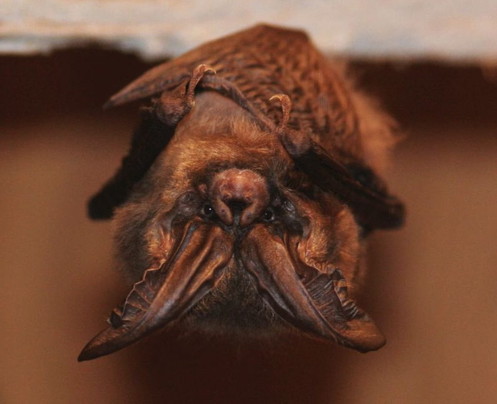 A roosting Townsend's big-eared bat (Photo: R. Davies)