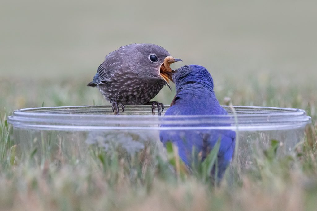 Male Bluebird feeding a youngster in a bowl we used to use. Photo by Dennis Plank
