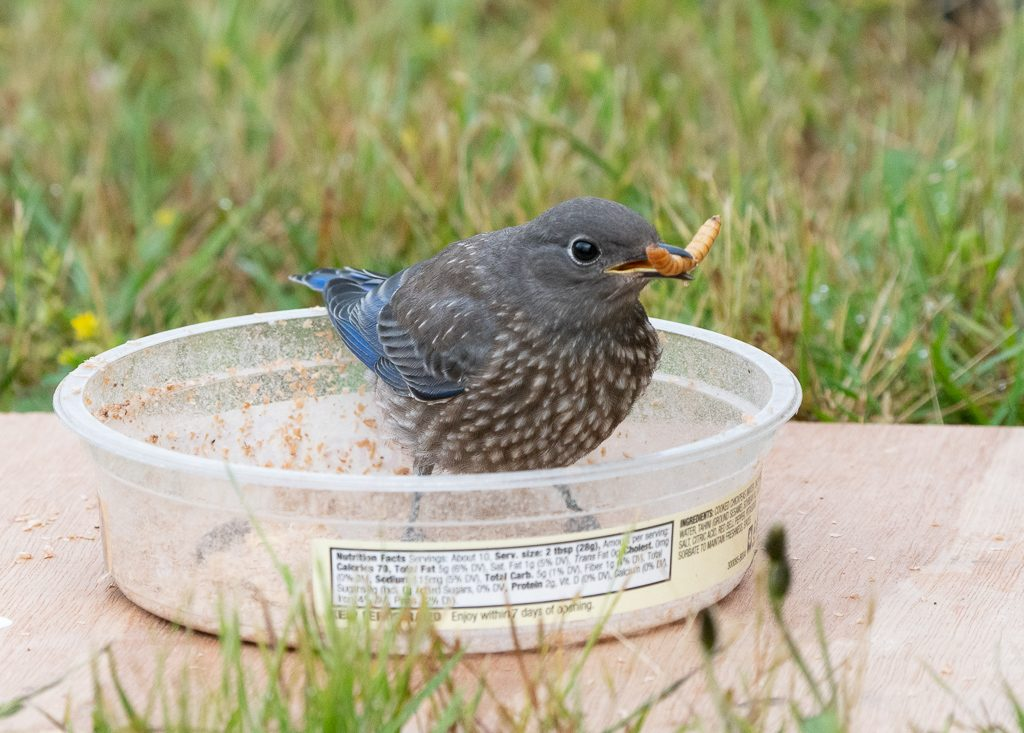 Juvenile Bluebird retrieving mealworms. Photo by Dennis Plank