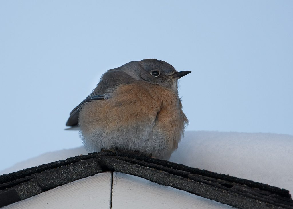 Western Bluebird puffed up to try to stay warm with it's food source covered in snow and ice. Photo by Dennis Plank
